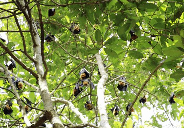 Các con dơi ở trong chùa Dơi - Sóc Trăng (Ảnh ST)