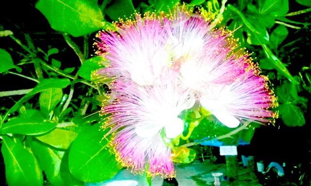 Hoa Bàng vuông trên đảo Cồn Cỏ