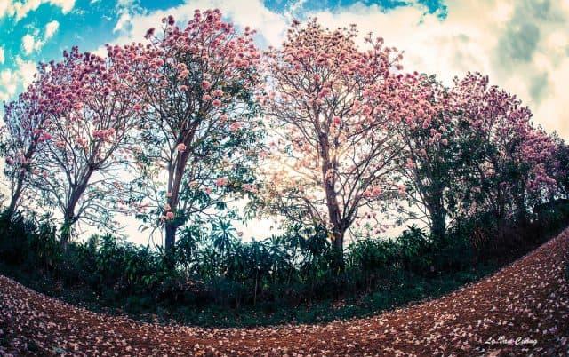 Hồng phấn ở hai bên Hồ Nam Phương Bảo Lộc