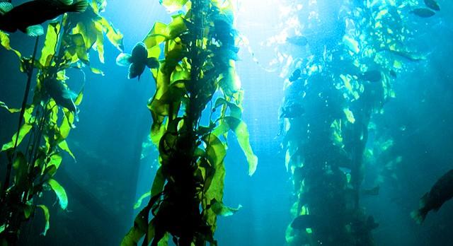 Có hơn 50 loài rong biển - đảo Cồn Cỏ