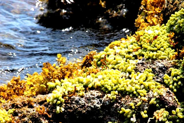 San hô phân bố ven bờ đảo Cồn Cỏ