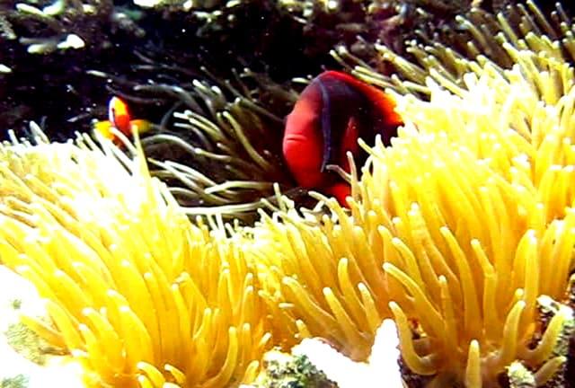 Cồn Cỏ có hơn 100 loài san hô