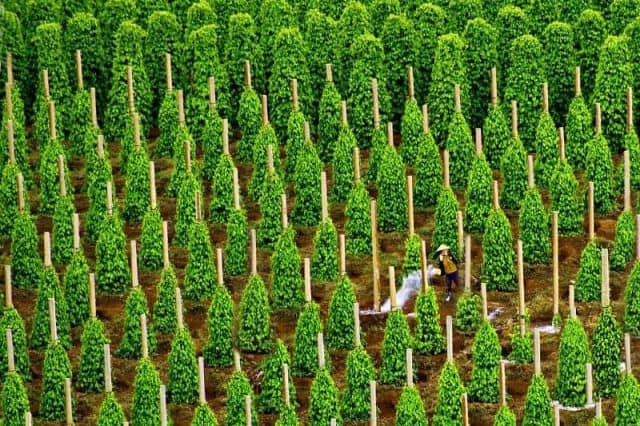 Người nông dân chăm sóc vườn tiêu