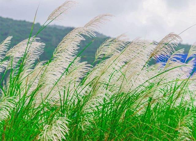 Cánh đồng cỏ lau trắng Đà Nẵng 06