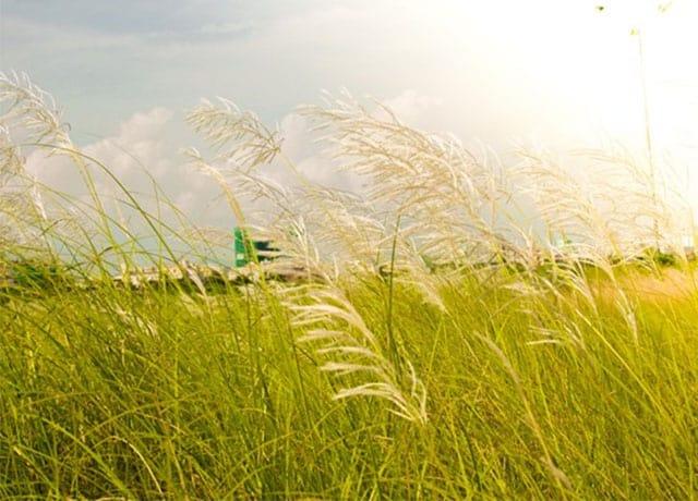 Cánh đồng cỏ lau trắng Đà Nẵng 01