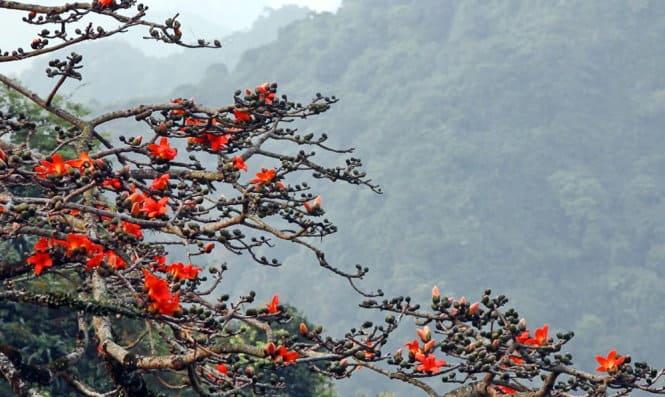 Sắc đỏ của hoa gạo ở chùa Hương