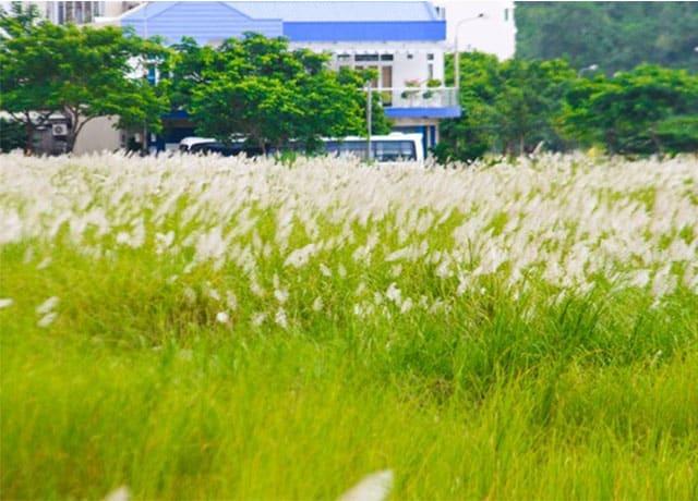 Cánh đồng cỏ lau trắng Đà Nẵng 03