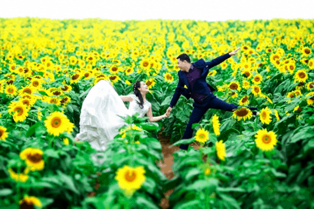 Cánh đồng hoa hướng dương Nghệ An địa điểm chụp ảnh cưới lý tưởng 01