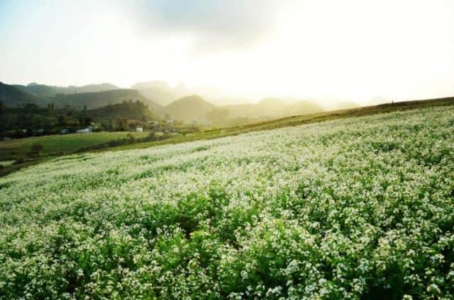 Khung cảnh tuyệt vời của cánh đồng hoa tam giác mạch Hà Giang tháng 10
