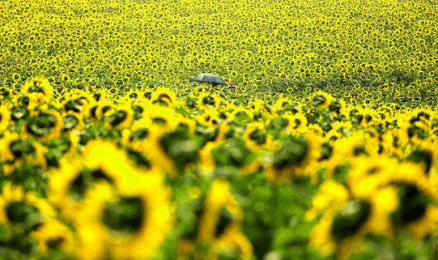 Sắc vàng phủ kín cánh đồng hoa hướng dương Nghệ An
