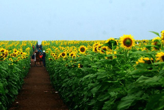 Khung cảnh cánh đồng hoa Hướng Dương Nghệ An vào mùa đông