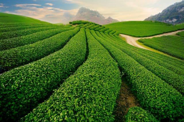Những đồi chè ở Mộc Châu xanh mướt trải dài đến tận chân trời