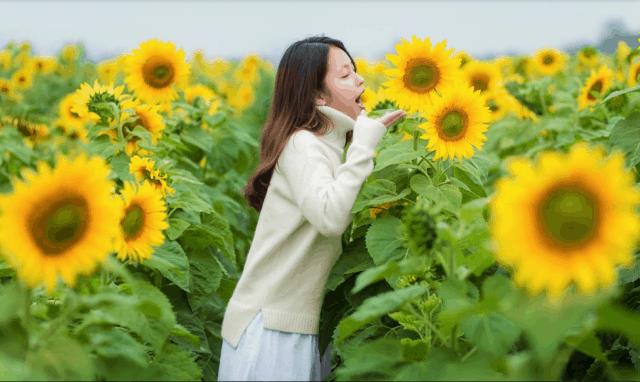 Ghi lại những khoảnh khắc cánh đồng hoa Hướng Dương Nghệ An 01