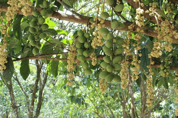 Vườn trái cây Tư Tuấn - Củ Chi