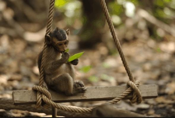 Những chú khỉ được thả tự nhiên ở đảo khỉ Cần Giờ