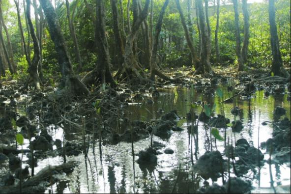 Rừng đước - loài cây chủ yếu ở đảo Thanh An
