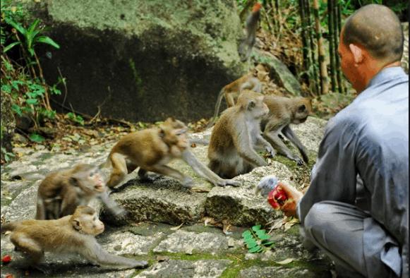 Các thầy ở chùa mang thức ăn cho đàn khỉ