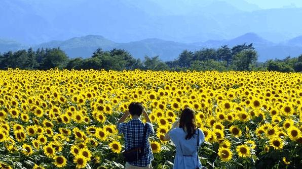 Chiêm ngưỡng cảnh đẹp của cánh đồng hoa hướng dương