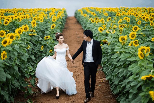 Cánh đồng hoa hướng dương Nghệ An địa điểm chụp ảnh cưới lý tưởng