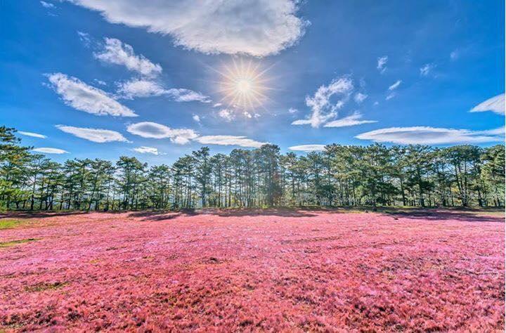 Đồi cỏ hồng Đà Lạt 05