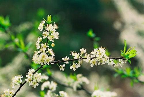 Hoa mận nở ở chùa Hương mỗi độ xuân về