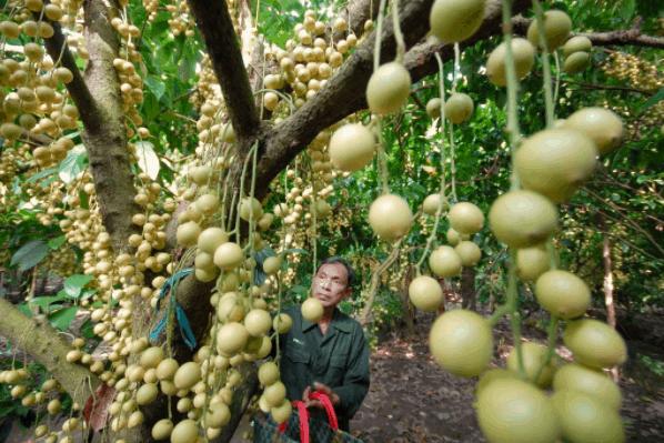 Tham quan khu du lịch vườn trái cây Củ Chi