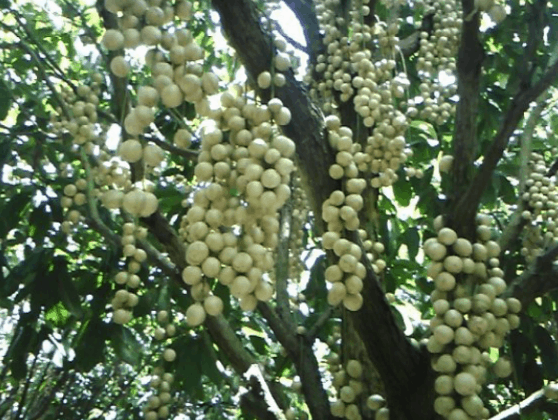 Trái cây ở vườn sinh thái Lê Lộc (Ảnh ST)