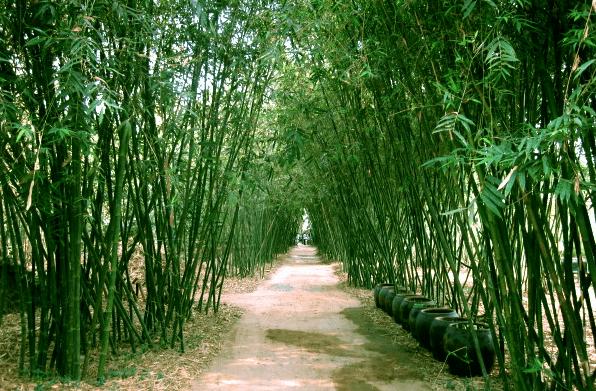 Con đường tre