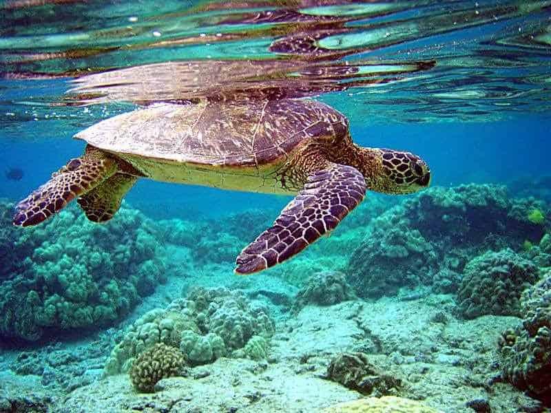 Hòn Bảy Cạnh là nơi có nhiều rùa đến sinh sản nhất Côn Đảo