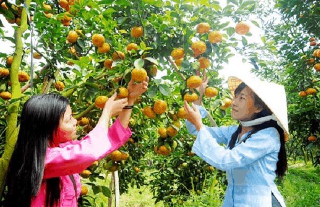 Vườn trái cây ở Cần Thơ (Ảnh ST)