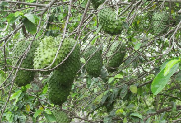 Vườn mãng cầu trĩu quả