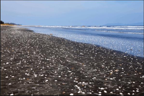 Bãi biển nuôi nghêu ở Cần Giờ