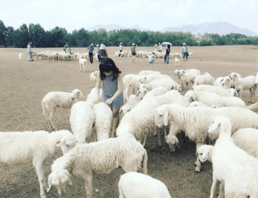 Chụp ảnh siêu chất với cánh đồng cừu Vũng Tàu