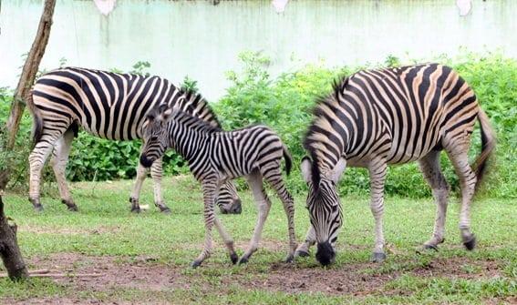 Mô hình sở thú mở đầu tiên ở Việt Nam