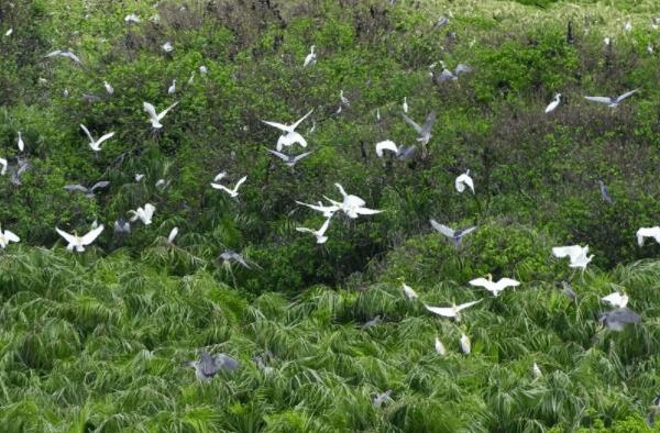 Hệ sinh thái rừng ngập mặn Cần Giờ phong phú, đa dạng