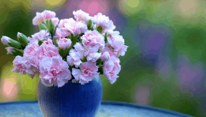 Hình ảnh hoa cẩm chướng