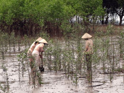 Hình ảnh người dân trồng cây ở rùng ngập mặn Cần Giờ