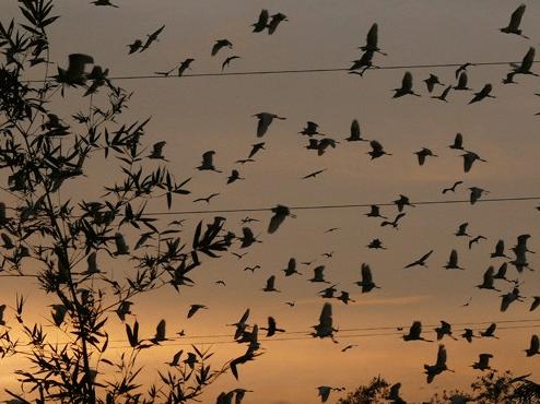 Hình ảnh những cánh cò bay trong chiều hoàng hôn