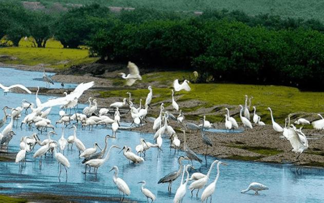 Ngắm đàn cò đang bắt mồi trên dòng sông