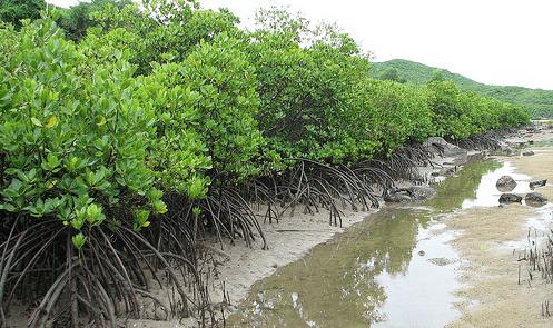 Cánh rừng chắn sóng hạn chế thiệt hại thiên tai