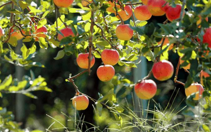 Trái cây thơm ngon ở vườn trái cây Mỹ Khánh (Ảnh ST)