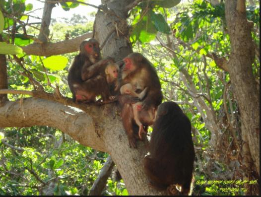 Loài khỉ mặt đỏ quý hiếm trên Côn Đảo