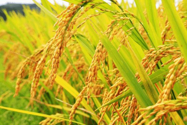Đồng bằng sông Cửu Long được biết đến là vựa lúa lớn nhất cả nước