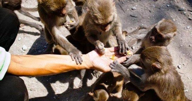 Khỉ trên đảo rất rạn người (Ảnh ST)