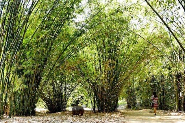 Những hàng tre xanh tại khu bảo tồn ở Phú An - Bình Dương