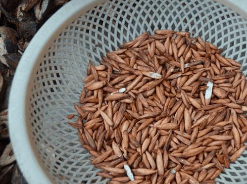 Mứt hạt bàng - đặc sản Côn Đảo níu chân du khách