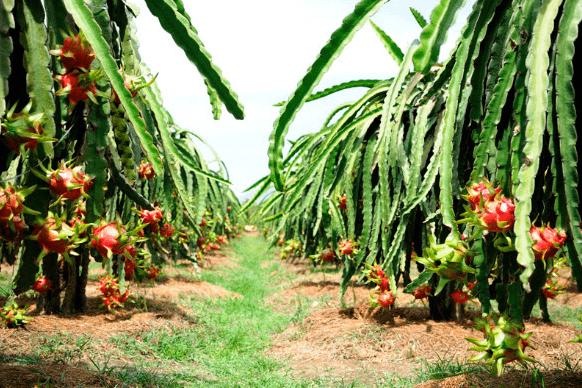 Vương quốc thanh long ở Bình Thuận