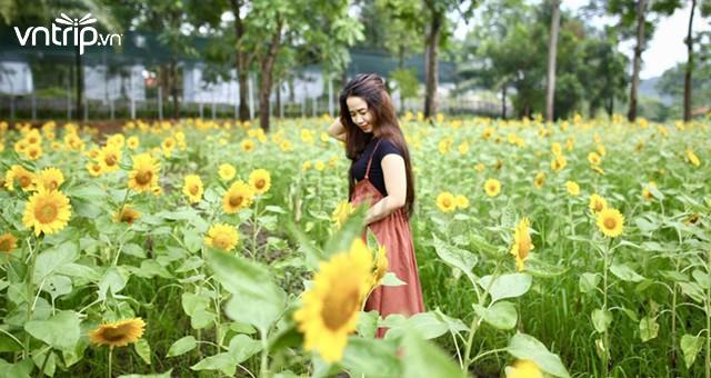 Khung cảnh đẹp tại cánh đồng hoa hướng dương