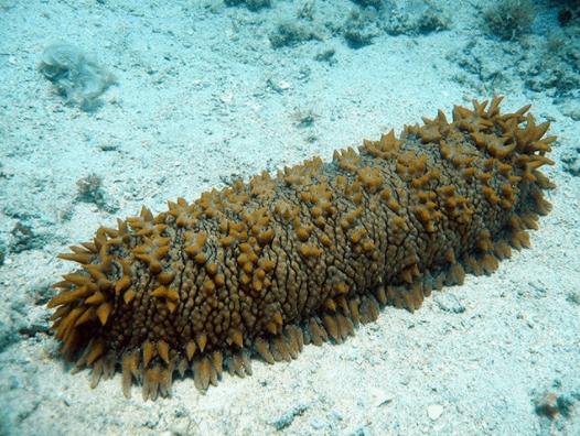 Hải sâm biển Phú Quốc