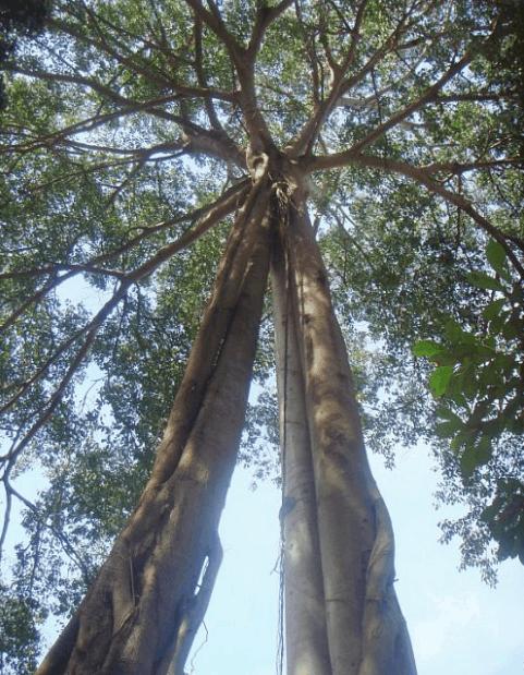 Hình ảnh cây Da tại chùa Gia Lào